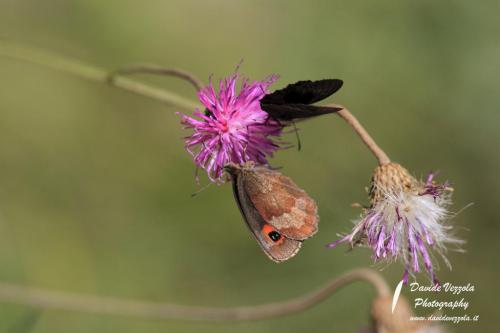 macro-farfalla